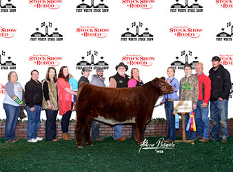 Gramd Champion British Steer